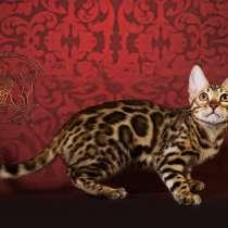 Бенгальские котята !, в Севастополе
