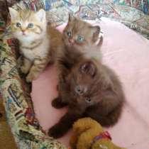 Британские котята, в г.Солигорск