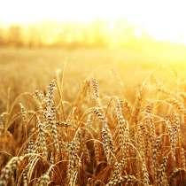 Пшеница продовольственная 3 класс без ГМО, в г.Минск