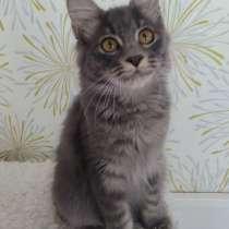 Голубая кошка Курильский бобтейл, в Москве