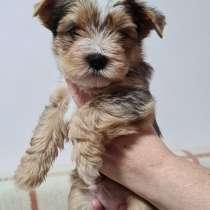 Yorkshire Terrier Welpen einer seltenen Farbe mit Ahnentafel, в г.Кёльн