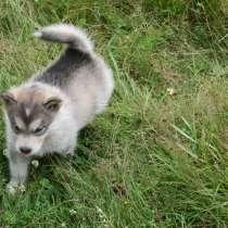 Щенки аляскинского маламута, в Раменское