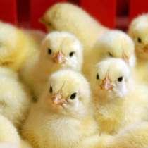 Цыплята суточные, в г.Рубежное