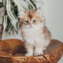 British BLH kitten Arthur ny11, в Санкт-Петербурге