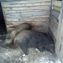 Мясо травоядных поросят, в Ачинске