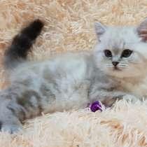 Шотландский котенок редкого окраса, в г.Минск