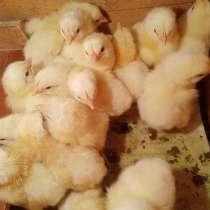 БройлерЫ цыплята, в Новокузнецке