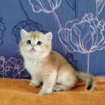 Шотландские котята, в Новосибирске