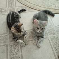 Шотландские котята, в Ульяновске