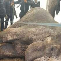 Ужас!!! Смерть слона в цирке братьев Гертнер!!!!, в г.Тарту