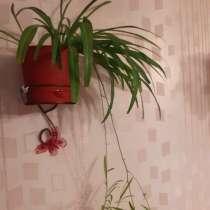 Хлорофитум, в Звенигороде