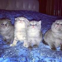 Шотландские котята, в г.Баку