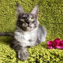 Мейн-кун котёнок(ns), в г.Париж