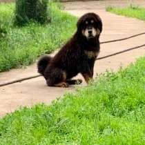 Щенок тибетского мастифа, в Дедовске