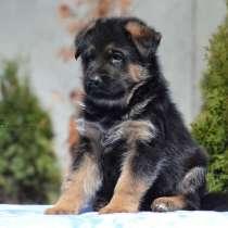 Красивые щенки немецкой овчарки!, в г.Киев