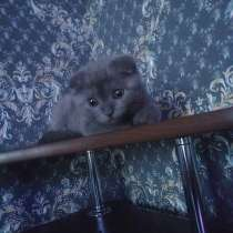 Кошечка (британка вислоухая), в Челябинске