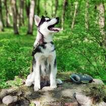 Husky puppy, в Калининграде