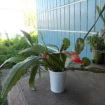кактус эпифиллум, в Томске