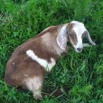 Англо-нубийские козлята, в Краснодаре