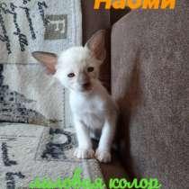 Ориентальные котята, в г.Минск