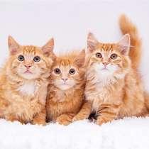 Рыжие котята мальчики в добрые руки, в Москве