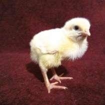 Цыплята бройлеры КОББ 500, яйцо инкубационное, в Серпухове