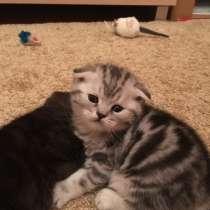 Продам шотландских котят, в г.Лида