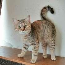 Британские котята, в г.Гомель