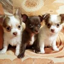 Купить щенка чихуахуа. РКФ. Бело-рыжий, Рыжий, шоколад, в Москве