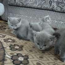Котята британские. 2 месяца. 50р, в г.Пинск