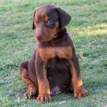 Купим щенка добермана за умеренную плату, в Томске