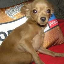 Продам еще одного щенка той-терьера, в Вологде