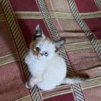 Чистокровный тайский котёнок, 2 месяца, девочка, в г.Луганск