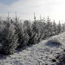 Ель обыкновенная- саженцы и крупномерные деревья, в Красноярске