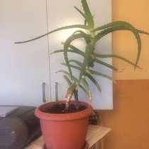 Растение - Алоэ, в Химках