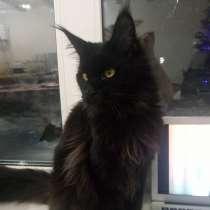 Котята породы мей-кун!, в Сарапуле