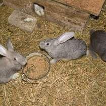 Кролики по 1000 рублей, в Уфе