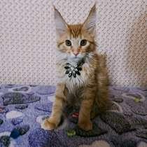 Котята Мейн-кун, в Благовещенске