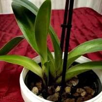 Орхидея Венерин башмачок (Пафиопедилум), в Калининграде