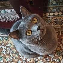 Отдам кота Шотландца в добрые руки, в Владивостоке
