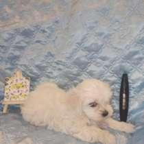 Мальтезе, мальтийская болонка щенок, в г.Лилль
