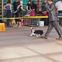 Профессиональная дрессировка породистых собак, в Краснодаре
