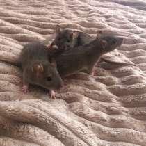 Крыса, в Курске