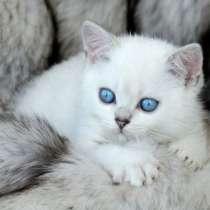 Британские котята с васильковыми глазкам, в Ярославле
