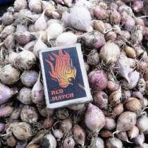 Семена чеснока (однозубка), в г.Киев