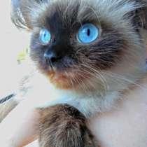 Гималайский котенок, мальчик, в Краснодаре