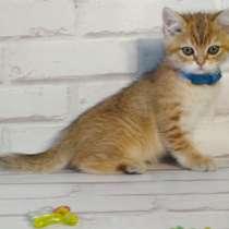 Продам котенка с родословной, порода скотишь страйт, в г.Кутаиси