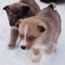 Отдаю щенков лайки, в Томске