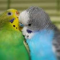 Попугаи (волнистые, корелла, неразлучники)канарейки, голуби, в г.Макеевка