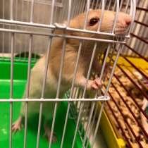 Продам крысу с клеткой, в Калуге